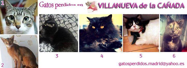 Villanueva de la Cañada: gatos Perdidos