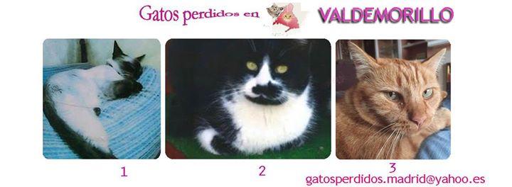 Valdemorillo: gatos Perdidos