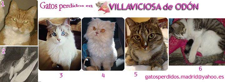 Villaviciosa de Odón: gatos Perdidos