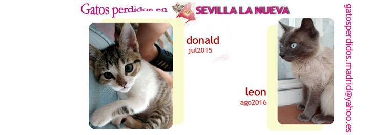 Sevilla La Nueva: gatos Perdidos
