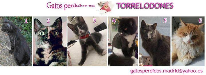 Torrelodones: gatos Perdidos