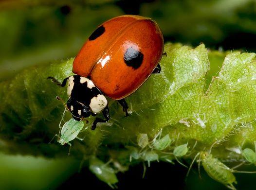 Remedios caseros ecológicos para combatir pulgones y otros insectos